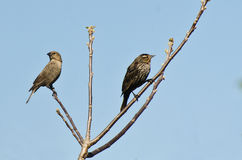 Female Red-Winged Blackbird in tree with Brown-Headed Cowbird. Female Red-Winged Blackbird side by side in tree with Female Brown-Headed Cowbird Royalty Free Stock Images