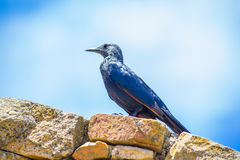 Female Red winged Starling Stock Photography