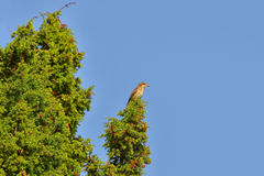 Female Redbacked shrike, Lanius Collurio Royalty Free Stock Photo