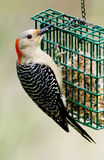 Female Redbellied Woodpecker Royalty Free Stock Photography