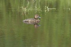Female redhead duck near Hauser Lake. Royalty Free Stock Photos