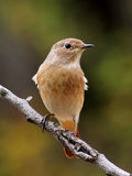 Female redstart. Redstart (Phoenicurus phoenicurus) resting on a branch. Widespread pasage migrant Royalty Free Stock Photography
