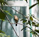 Female Redstart sitting on a tree branch Royalty Free Stock Image