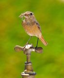 Female redstart. Royalty Free Stock Photo