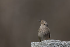 Female redstart on a smooth background Royalty Free Stock Photos
