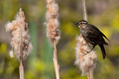 Female Redwing Blackbird Royalty Free Stock Image