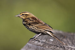 Female Redwing Stock Photo