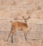 Female reedbuck in Tarangire. Closeup of female Reedbuck scientific name: Redunca redunca, or `Tohe ndope` in Swaheli in the Tarangire, National park, Tanzania Stock Photography