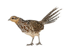 Female Reeves's Pheasant. Syrmaticus reevesii, can grow up to 210 cm long, in front of white background Royalty Free Stock Image
