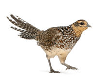 Female Reeves's Pheasant Royalty Free Stock Photography