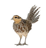 Female Reeves's Pheasant. Syrmaticus reevesii, can grow up to 210 cm long,, standing in front of white background Royalty Free Stock Images