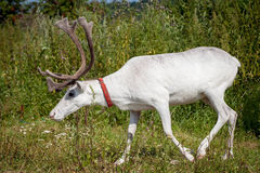 Female reindeer or caribou outdoors Stock Photography