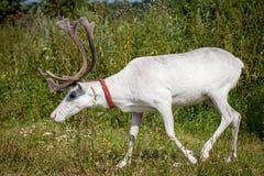 Female reindeer or caribou outdoors. Female reindeer or caribou, Rangifer tarandus, on green meadow Stock Photography