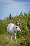 Female reindeer or caribou outdoors. Female reindeer or caribou, Rangifer tarandus, on green meadow Stock Photos
