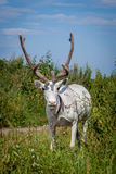 Female reindeer or caribou outdoors Royalty Free Stock Images