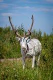 Female reindeer or caribou outdoors. Female reindeer or caribou, Rangifer tarandus, on green meadow Royalty Free Stock Images