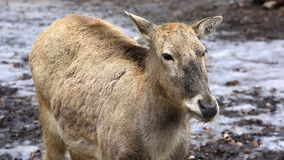 Female reindeer in winter forest. Female reindeer grazing on plateau in winter day stock video footage