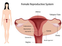 Female Reproductive System. Anatomy of the Female Reproductive System labelled, eps8 Royalty Free Stock Images