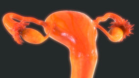 Female Reproductive System Anatomy Stock Photography