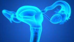 Female Reproductive System Anatomy Stock Photos