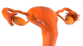 Female Reproductive System Stock Photo