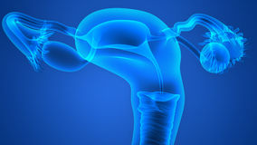 Female Reproductive System Stock Photography