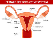 Female reproductive system. Human anatomy. female reproductive system. Uterus and uterine tubes. Vector diagram Stock Photo