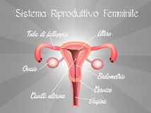 Female reproductive system Royalty Free Stock Images
