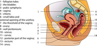 Female reproductive system (poster) Royalty Free Stock Image
