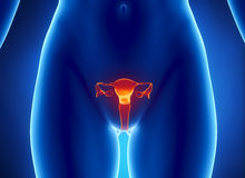 Female REPRODUCTIVE system x-ray view Royalty Free Stock Image