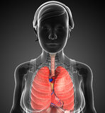 Female respiratory system Royalty Free Stock Images