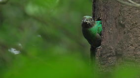 Female of Resplendent quetzal stock video