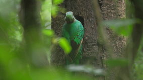 Female of Resplendent quetzal stock footage
