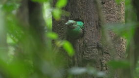 Female of Resplendent quetzal stock video footage
