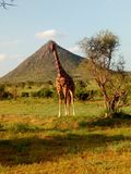 Reticulated Giraffes in Samburu Kenya stock photos