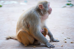 Female rhesus macaque and her baby with peanuts on the ground Stock Images