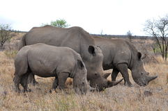 Female rhino with 2 calves in Kruger NP Royalty Free Stock Photo