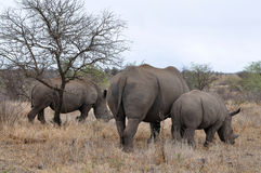 Female rhino with calves in Kruger NP. Photo taken in northern part of Kruger national park, South Africa royalty free stock photo