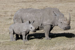 Female rhino with cub standing in the African savanna. Kenya Royalty Free Stock Images