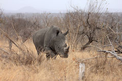 Female rhino in game reserve Stock Images