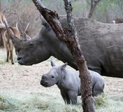 Female rhino with her baby rhino in the Savanna. – South Africa Stock Images