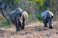 Rhino mam and her baby. Female rhino an his breading in Kruger Park, South Africa royalty free stock images