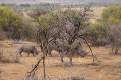 Female rhino with its baby in Pilanesberg National Park. royalty free stock photography