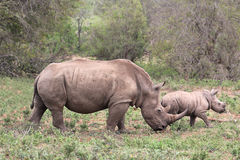 A female rhino / rhinoceros protecting her calf Royalty Free Stock Images