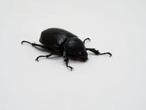 Female Rhinoceros beetle Stock Photo