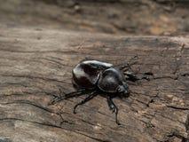 Female Rhinoceros beetle Royalty Free Stock Images
