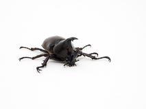 Female Rhinoceros beetle Stock Photography