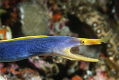 Free Female Ribbon Eel With Mouth Open Side View Royalty Free Stock Photography - 30848597