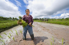 Female rice farmer in thailand Royalty Free Stock Images