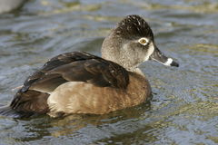 Female Ring-Necked Duck. Closeup of female ring necked duck swimming to right Royalty Free Stock Photo